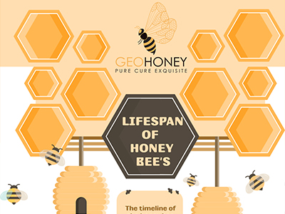 Lifespan Of Honey Bee's