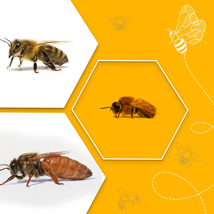 Types of Honey Bees