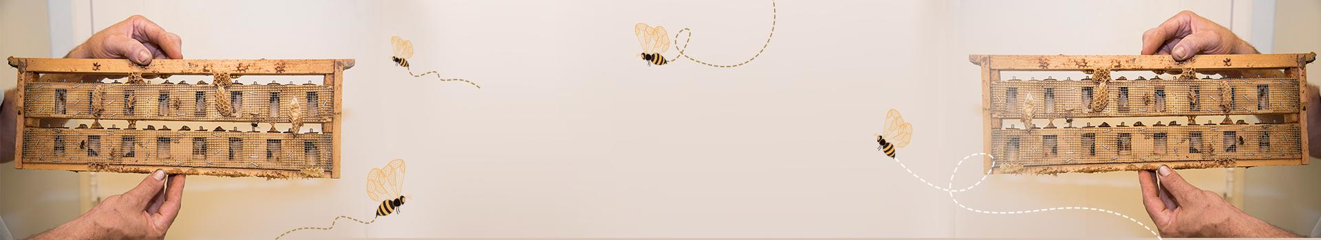 Honey bee queen - Geohoney
