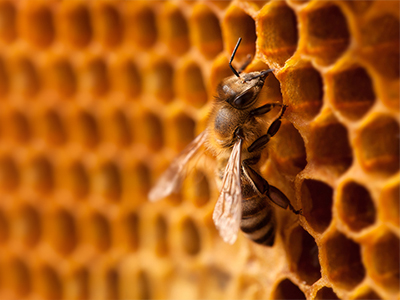 Honey Bees - Diving Into The World Of Lovely Pollinators