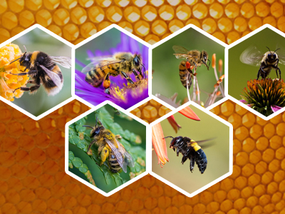 Types Of Bees - Diet, Habitat And Their Impact
