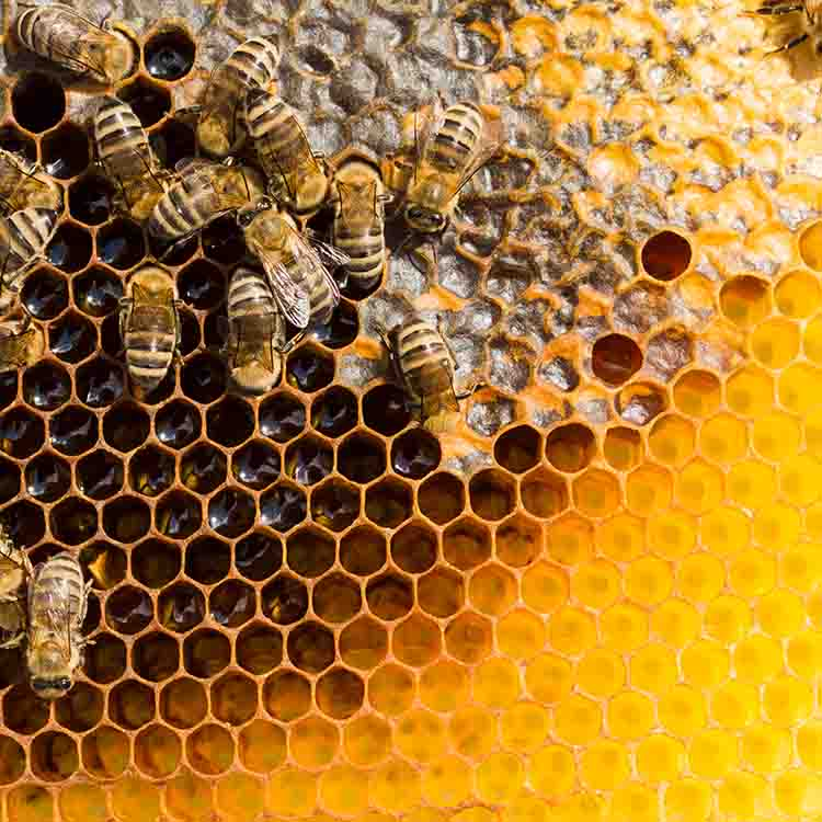 Difference between Honeycombs & Bee Nests