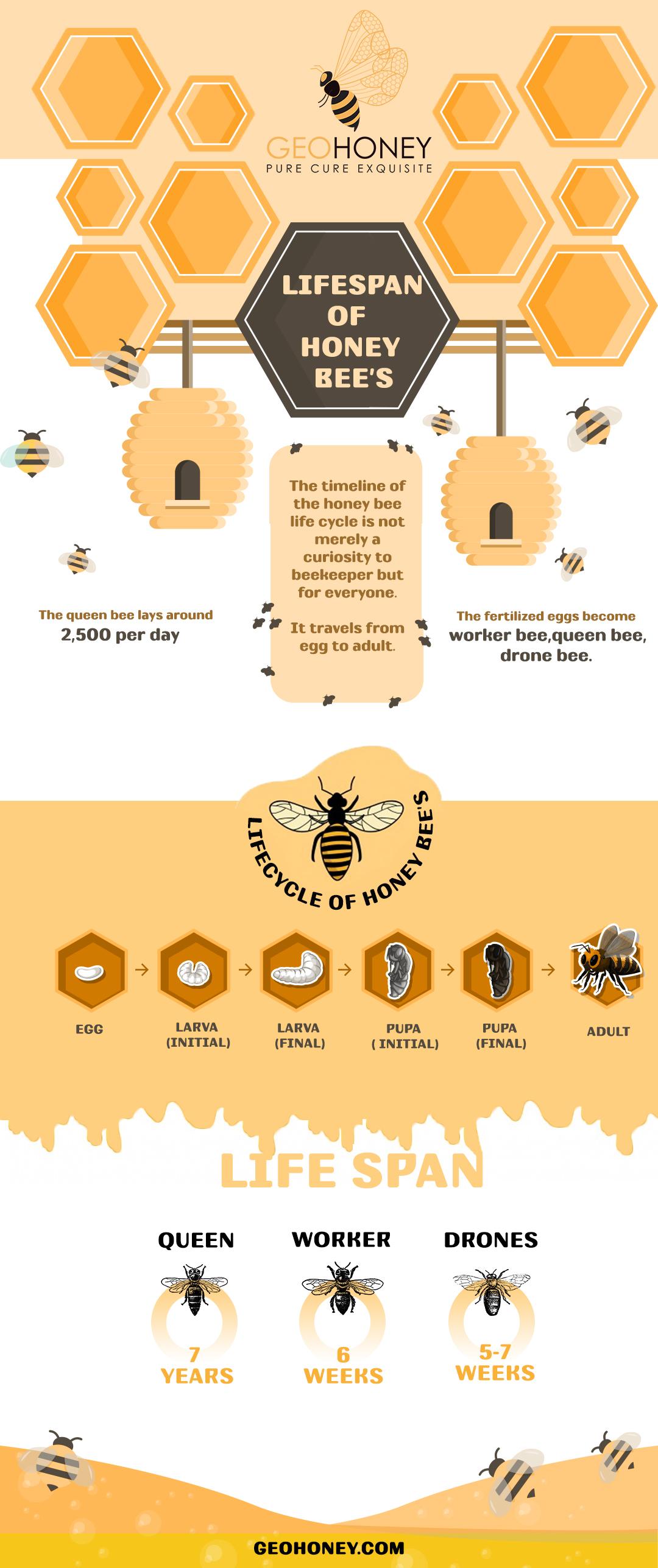 Lifespan of honey bees - GeoHoney